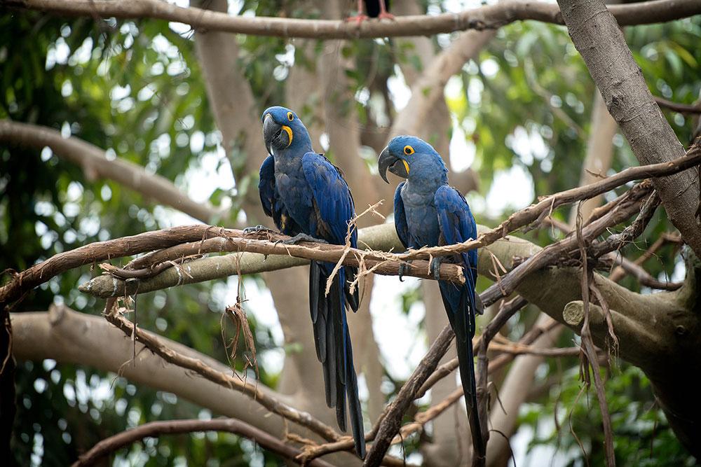 Benito And Sapphira Hyacinth Macaws 2018 Elliot Cramer 5 Option B Main Page Photo