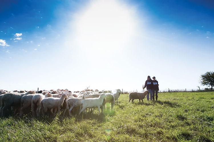 Lambs Fiels Feb19